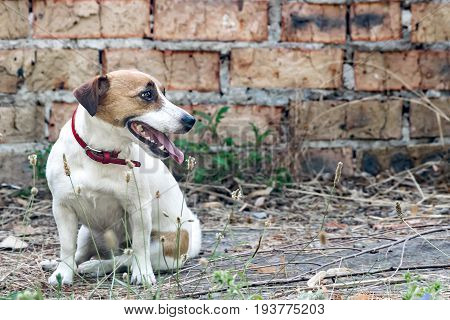 A small dog sitting on the background of the old brick wall