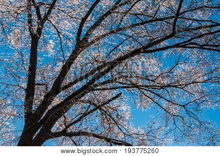 Texture of iced bare branches of the oak tree on the background of clear sky