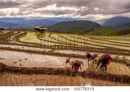 Rice Farmers Transplant In The Paddy Field On Rice Field Terraced In North Thailand, Mae Jam, Chiang