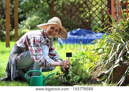 Planting herbs on the flower beds. Woman plants plants in backyard garden.