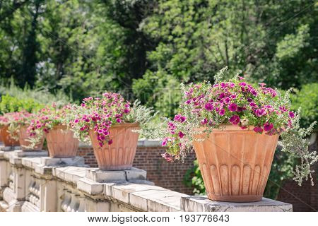 Row of large ceramic pots filled with petunias.
