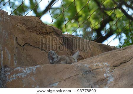 A puma hiding in the brown rocks
