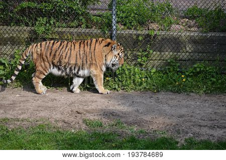 A tiger pacing along a dirt path