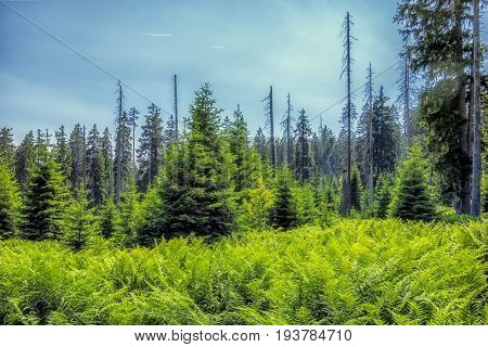 Forest trees. Bark beetle infested spruce.Natural Forest of Spruce Trees. Mountain stream in the national park Sumava.Czech Republic.Dead trees.