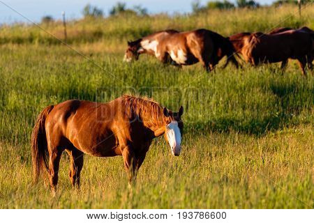 Srong Chestnut horse with a bald face in a field with other horses in the back ground