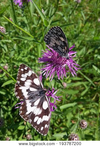 two marbled white butterflies on knapweed one with closed wings