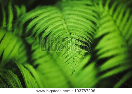 Perfect natural fern pattern. Beautiful background made with young green fern leaves. Seleclive focus. Place for text.