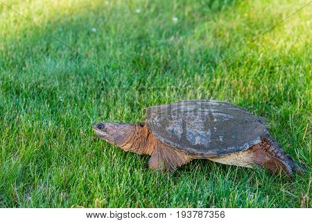 Wisconsin Common Snapping Turtle (Chelydra serpentina) walking in a field in July