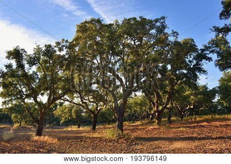 Cork oak grove at sunset (Quercus sube) Evora Alentejo Portugal