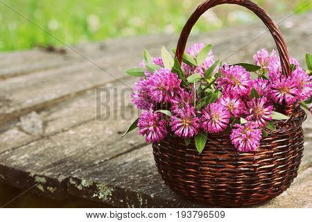 Clover flowers in a basket. Herbs harvesting of medicinal raw materials .