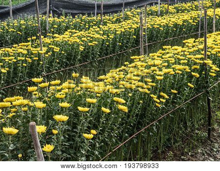 Chrysanthemum flower row in the rope line of the countryside farm.