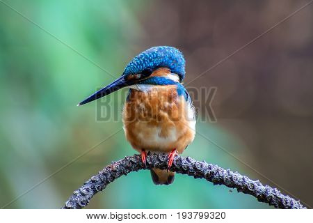 Bird, Common Kingfisher (Alcedo atthis) A beautiful in forest