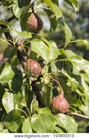 Pear Fruits Ripening