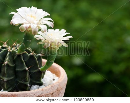 Cactus flower petal pink in the pot.Yellow stamen On the inside of the cactus flower. The background is green