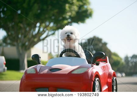 Dog car ride.  Dog enjoys a ride in a pedal car. Fifi the Bichon Frise, takes her Red Hot Rod Pedal Car out for a ride. Dogs love car rides.