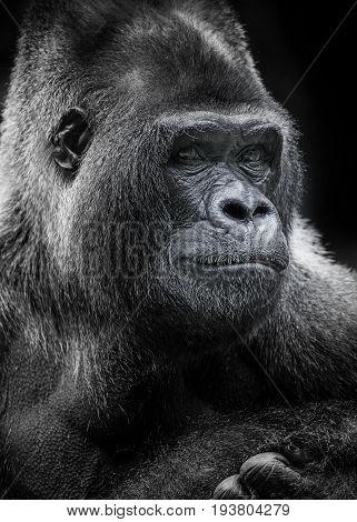 portrait of gorilla on a dark background