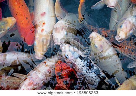 koi carps in a pond close up