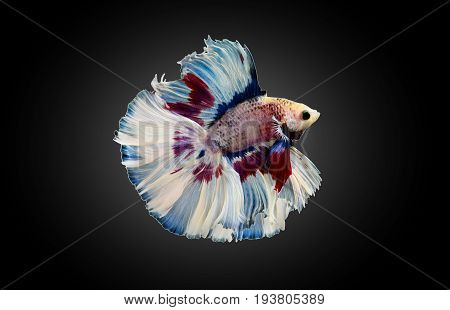 betta fish fighting fish Siamese fighting fish isolated on black background Pla-kad biting fish Thai