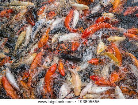 many koi carps in a pond close up