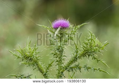 Field with Silybum marianum (Milk Thistle) , Medical plants.