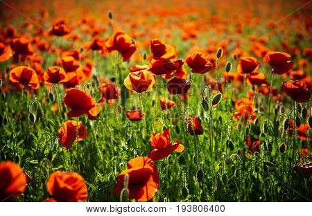 poppy seed. red flower in field on green stem as background summer and spring drug and love intoxication opium