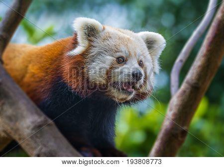 red panda - Ailurus fulgens close up