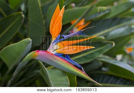 Strelitzia Reginae flower closeup in the detail