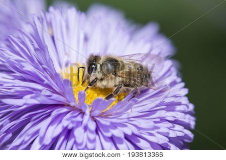 a bee (apis mellifera) on a flower