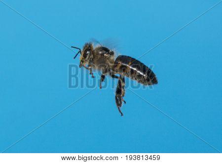 a bee (apis mellifera) flying - close up