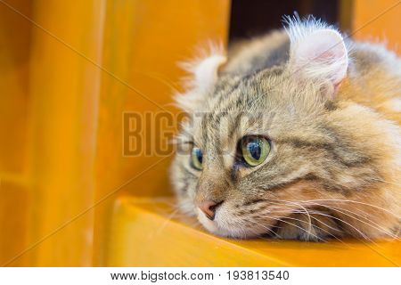 Lovely American Curl cat on wood table