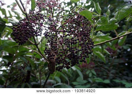 A cluster of elderberries ripens on an elderberry bush (Sambucus nigra) in a garden in Joliet, Illinois during August