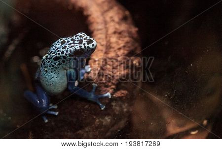 Blue poison dart frog Dendrobates tinctorius azureus is known by its native name okopipi and is found in Suriname and Brazil.