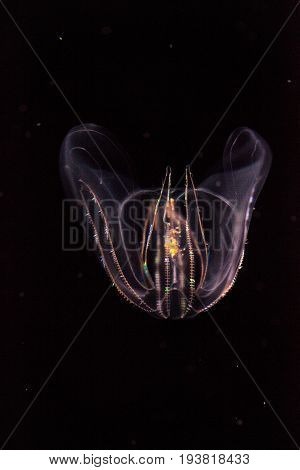 Comb Jelly Phylum Ctenophora Do Not Have Stinging Cells