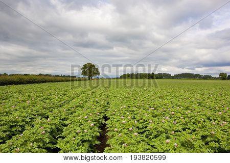 Flowering Potato Crop