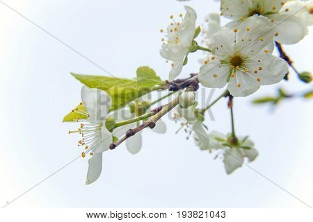 Spring flowering cherry, white flowers close-up, Selective focus and shallow Depth of field.