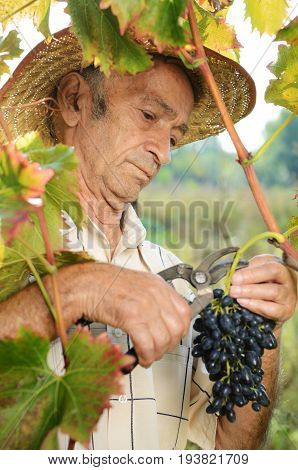 Senior vine-grower works at vineyard inspecting grapes