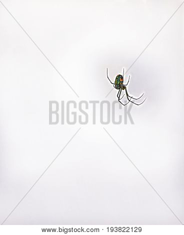 HDR Black Widow Spider in misty isolation
