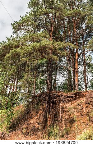 Pine Tree With Bare Roots Grows On Top Of A Sand Hill In The Forest