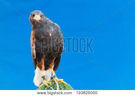 Harris's hawk bay-winged hawk or dusky hawk over blue background