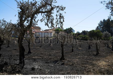 Olive tree field burnt down right next to the homes of the small village of Lameira Cimeira. Caused by a massive forest fire. Pedrogao Grande Portugal.