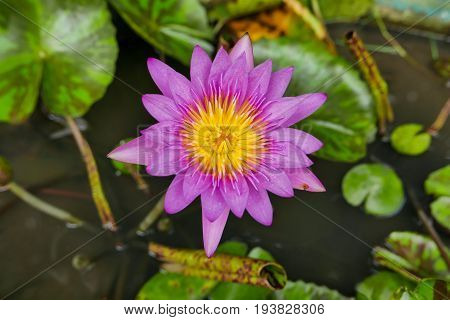 Purple Magenta Lotus Flower Or Water Lilies In A Pond