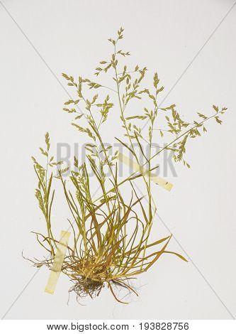 poa annua - plant in a Herbarium sheet