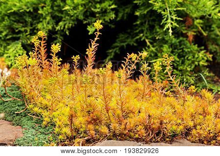 Sedum reflexum (Angelina) beautiful slow-growing perennial succulent groundcover with fleshy golden leaves on the garden clumb creeping reflexed stonecrop stone orpine prick-madam.