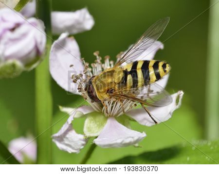Common Banded Hoverfly - Syrphus ribesii On Bramble Flower