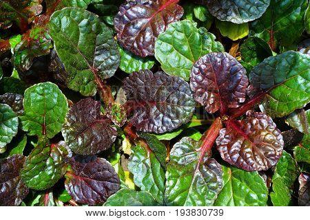 Evergreen soil-protective garden plant Ajuga reptans 'Black Scallop'.