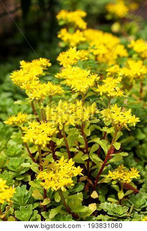 Sedum acre plant (stonecrop or wall-pepper) in full bloom with yellow flowers on garden ground. Selective focus. Vertical view.
