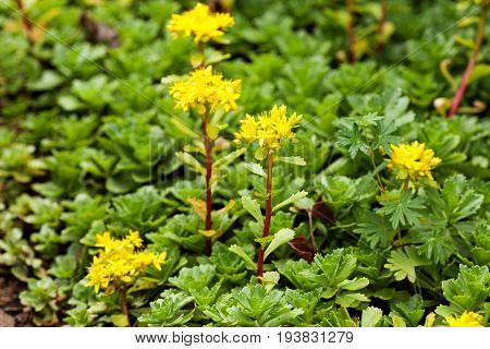 Medical herb sedum acre plant goldmoss mossy stonecrop. Yellow flowers tufted perennial plant in the family Crassulaceae. Selective focus.