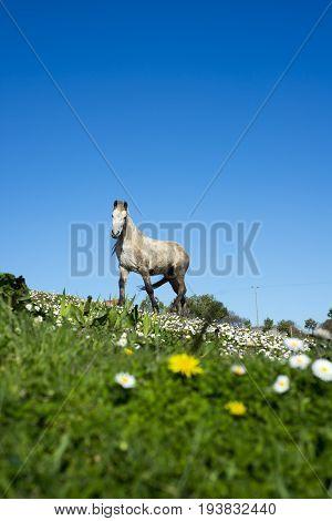 beautiful irish pony in a lush field of daisies