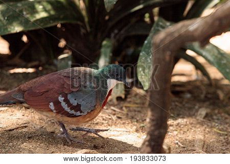Mindanao Bleeding-heart Dove Gallicolumba Crinigera