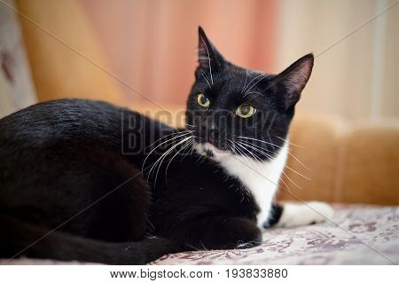 Black with white young cat with green eyes